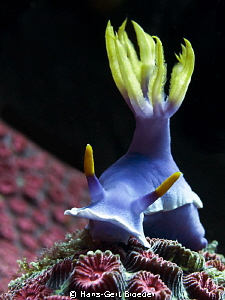 Chromodoris bullocki 